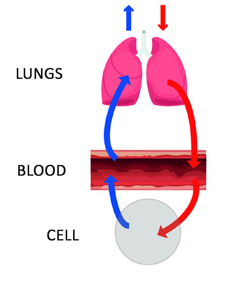 Breathing cycle
